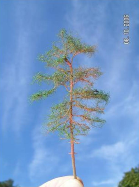 scotts pine with leaves