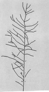 A Sketch Of The Pine In The Top Four Shown Above